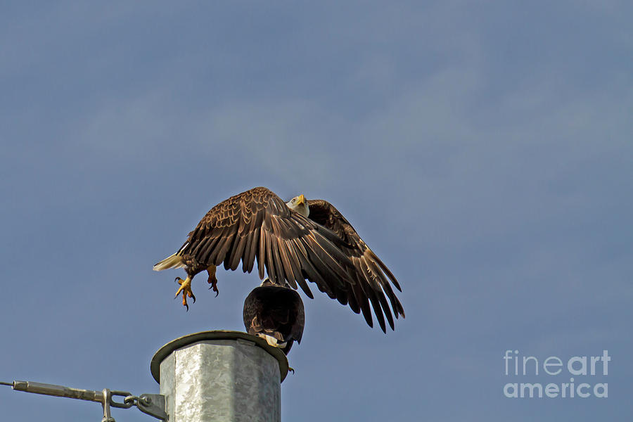 Eagle Photograph - Liftoff by Blair Howell