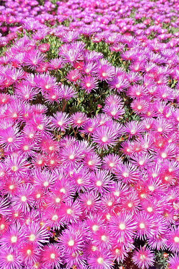 Light Pink Ice Plant at Saint Lukes Lutheran Church in Claremont, California  by Ruth Hager
