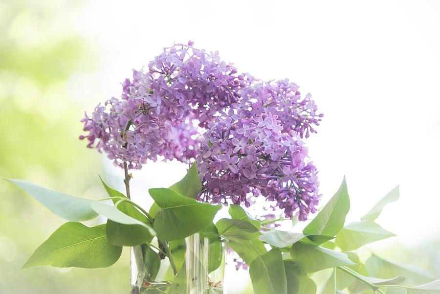 Lilacs by Johanna Froese