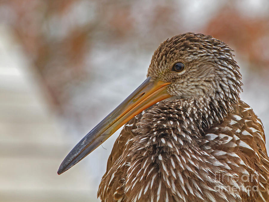 Limpkin Photograph - Limpkin by Blair Howell