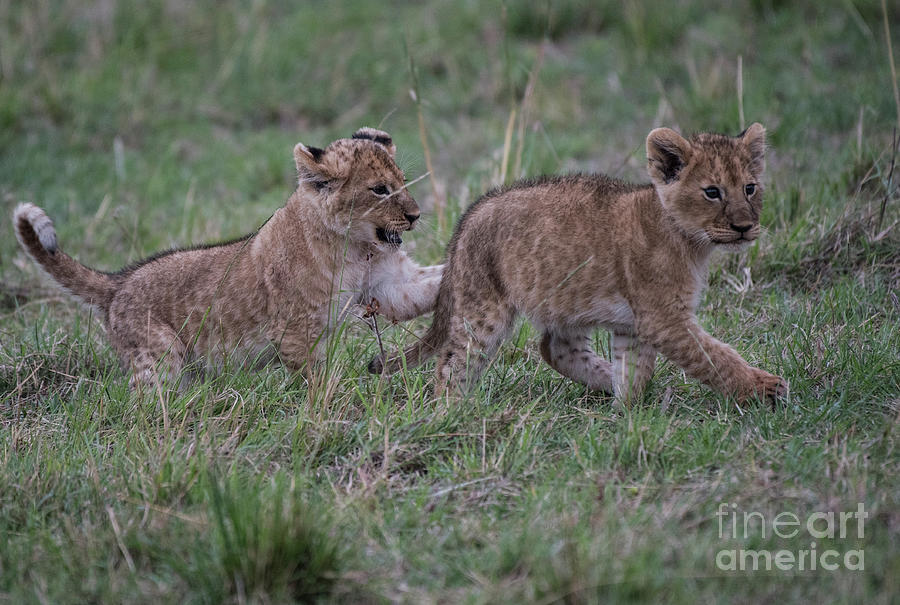 Lion Cubs play - Masai Mara by Steve Somerville