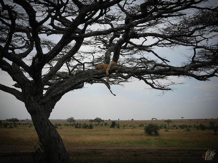 LION IN A TREE by Elie Wolf