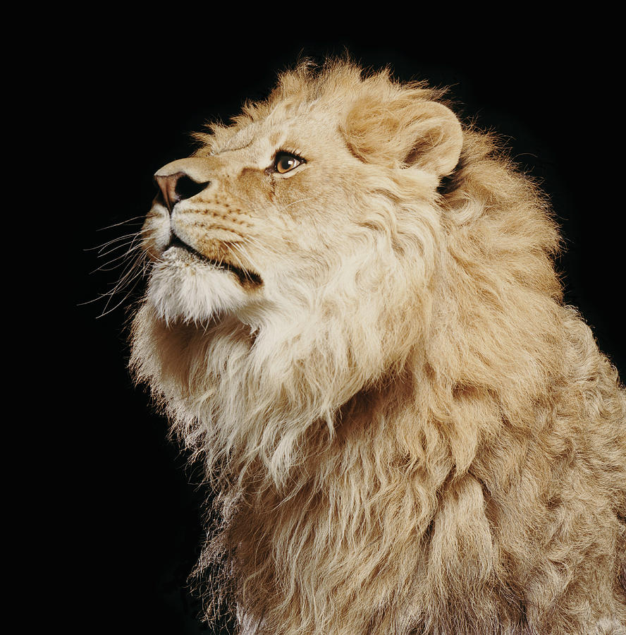 Lion Profile Photograph by Gk Hart/vicky Hart