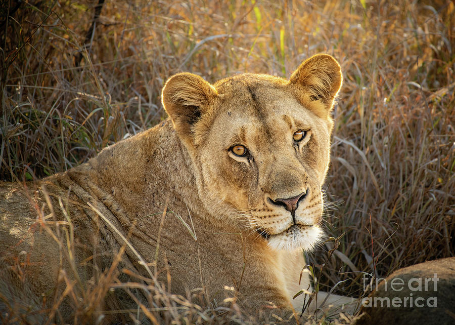 Lioness In South Africa Photograph