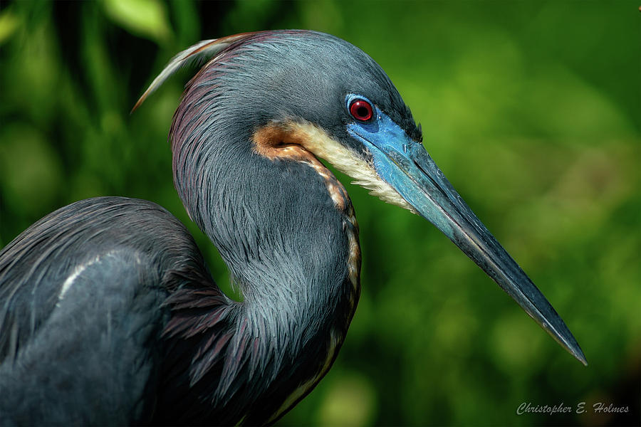 Little Blue Heron II by Christopher Holmes