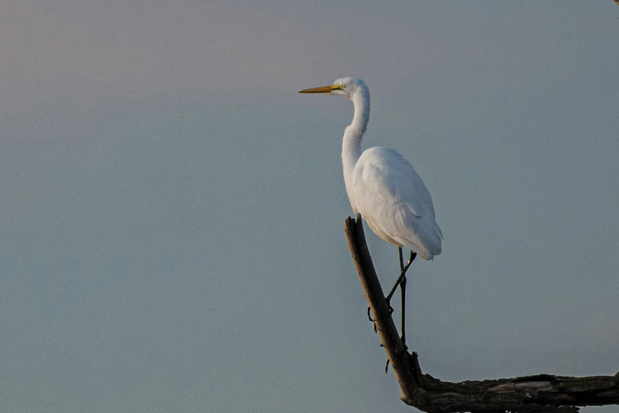 Lone Egret Photograph