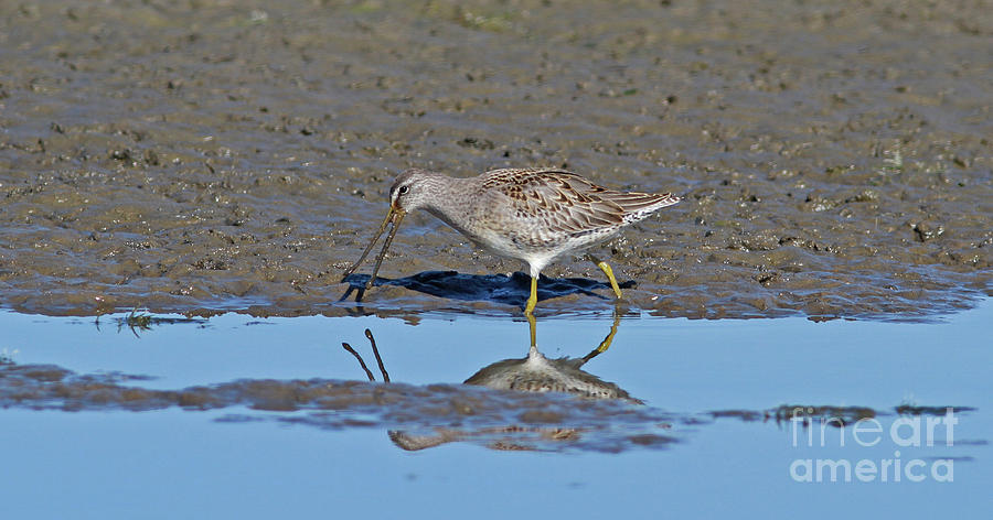 Long-billed Dowitcher Photograph - Long-billed Dowitcher by Gary Wing