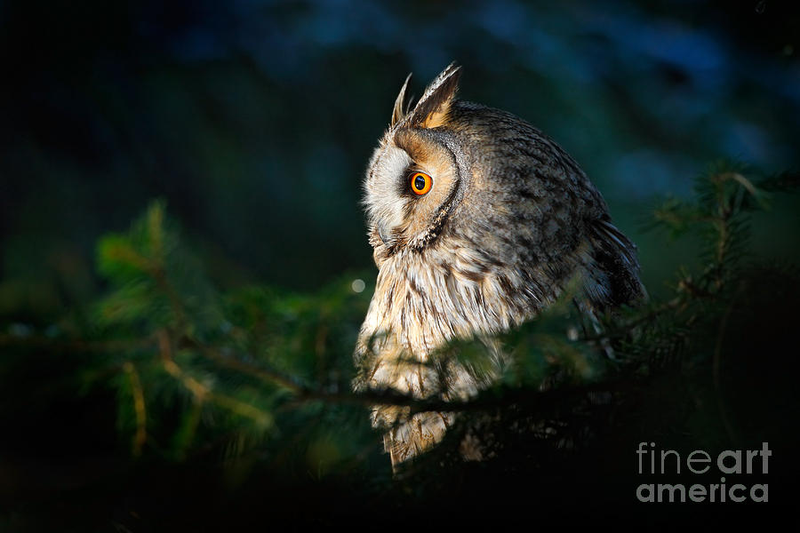 Big Photograph - Long-eared Owl Sitting On The Branch In by Ondrej Prosicky