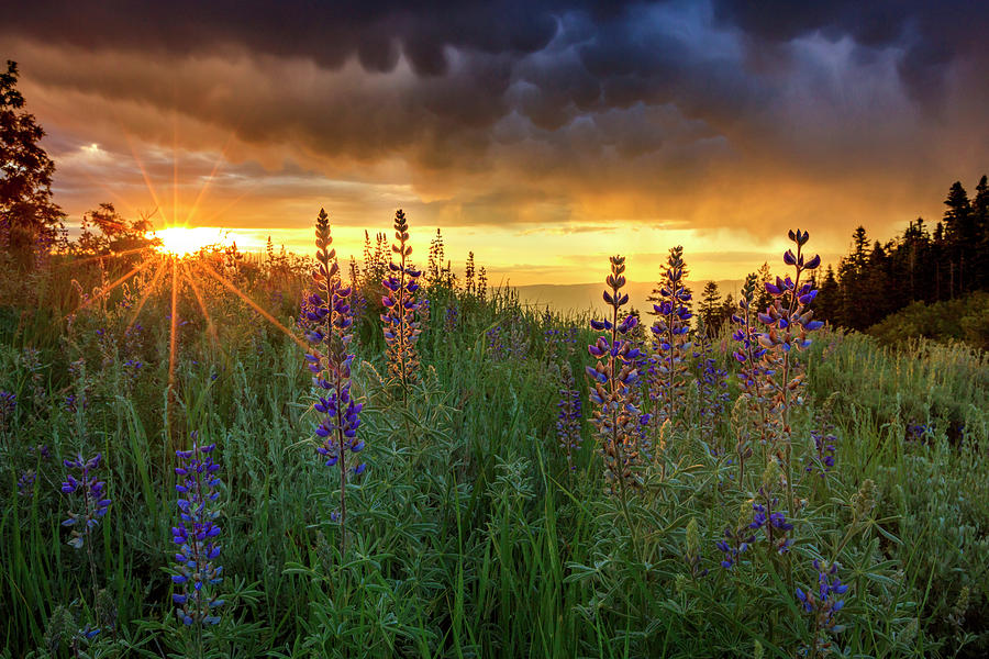 Lupine Sunrise by Johnny Adolphson