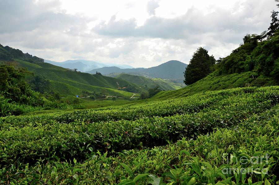 Lush rolling green fields of tea on hills in tropical resort Cameron Highlands Malaysia by Imran Ahmed