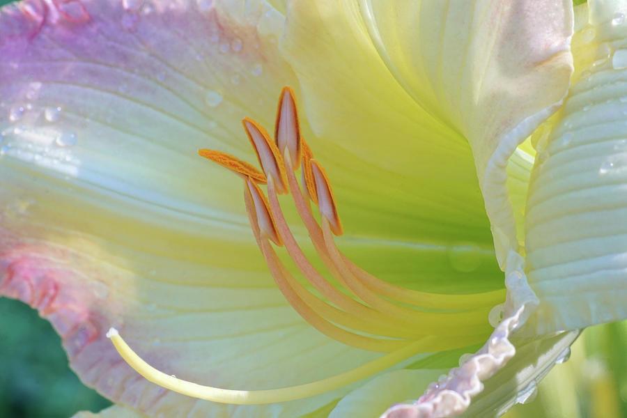 Luxurious Lily by Kathi Mirto
