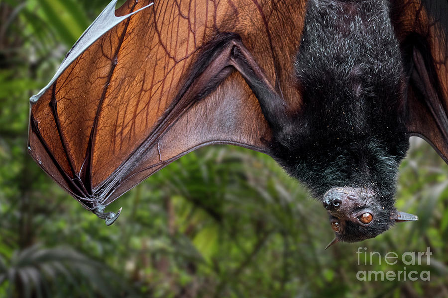 Lyle's flying fox by Arterra Picture Library