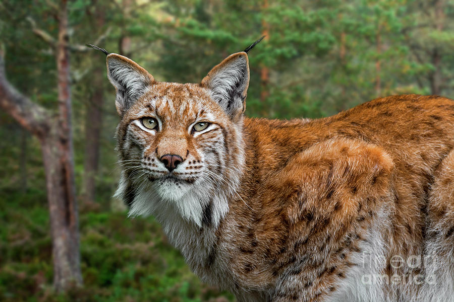 Lynx in Forest by Arterra Picture Library