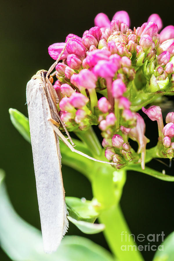 Macro of white night butterfly insect on valerian pink flower by Gregory DUBUS