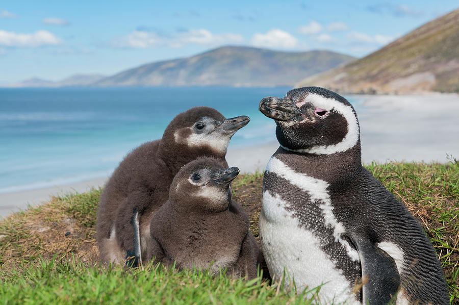 Magellanic Penguin And Chicks Photograph by Tui De Roy
