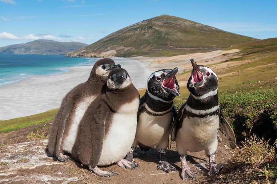 Magellanic Penguin Family Calling Photograph by Tui De Roy