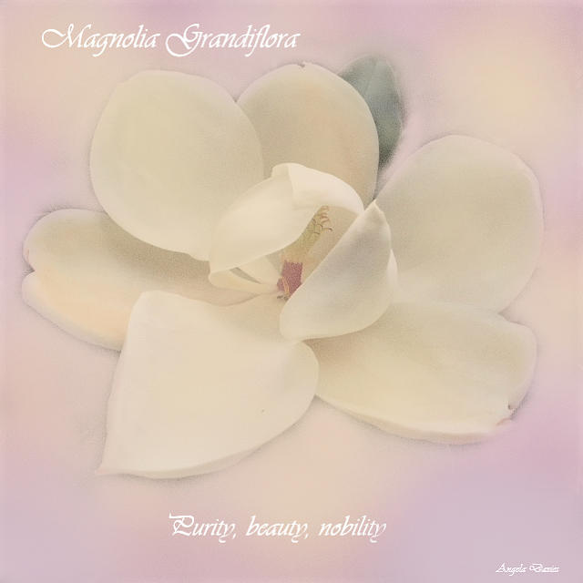 Magnolia Grandiflora by Angela Davies