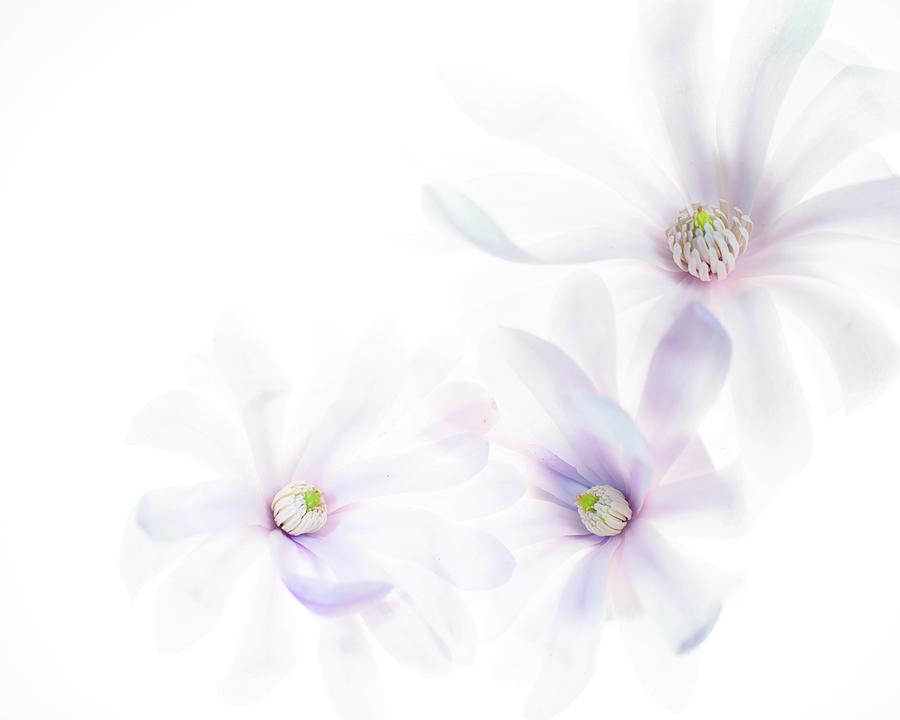 Magnolia Trio by Rebecca Cozart
