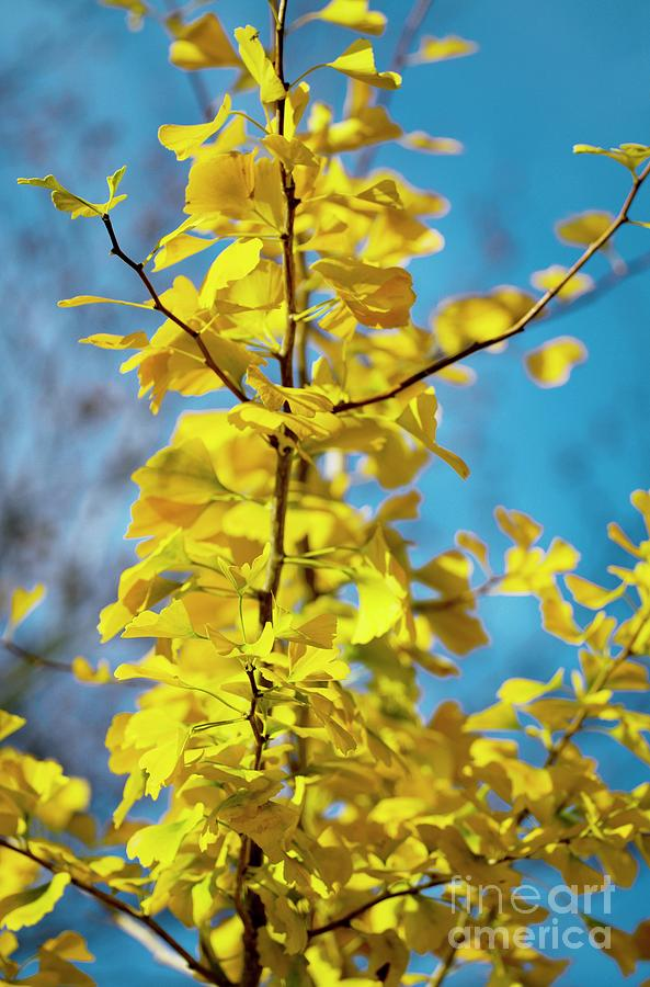 Maidenhair Tree Leaves Ginkgo Biloba Photograph By Dr Keith
