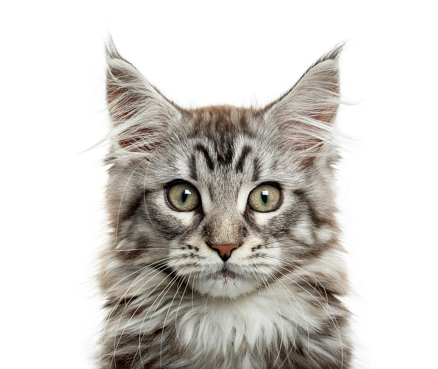 Maine Coon Kitten In Front Of White Photograph by Life On White