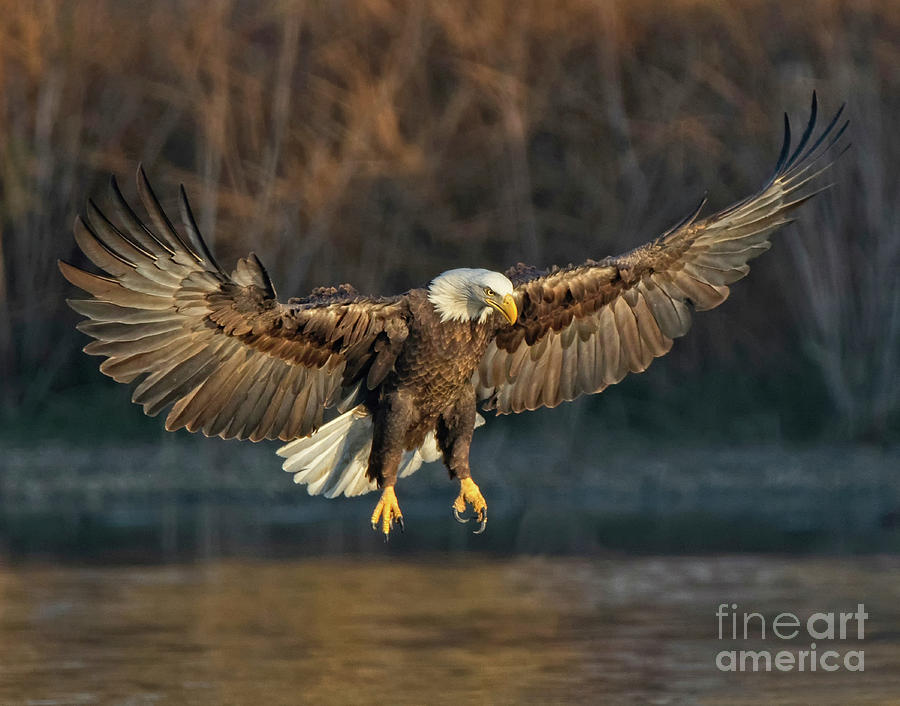 Majestic Bald Eagle by Beth Sargent