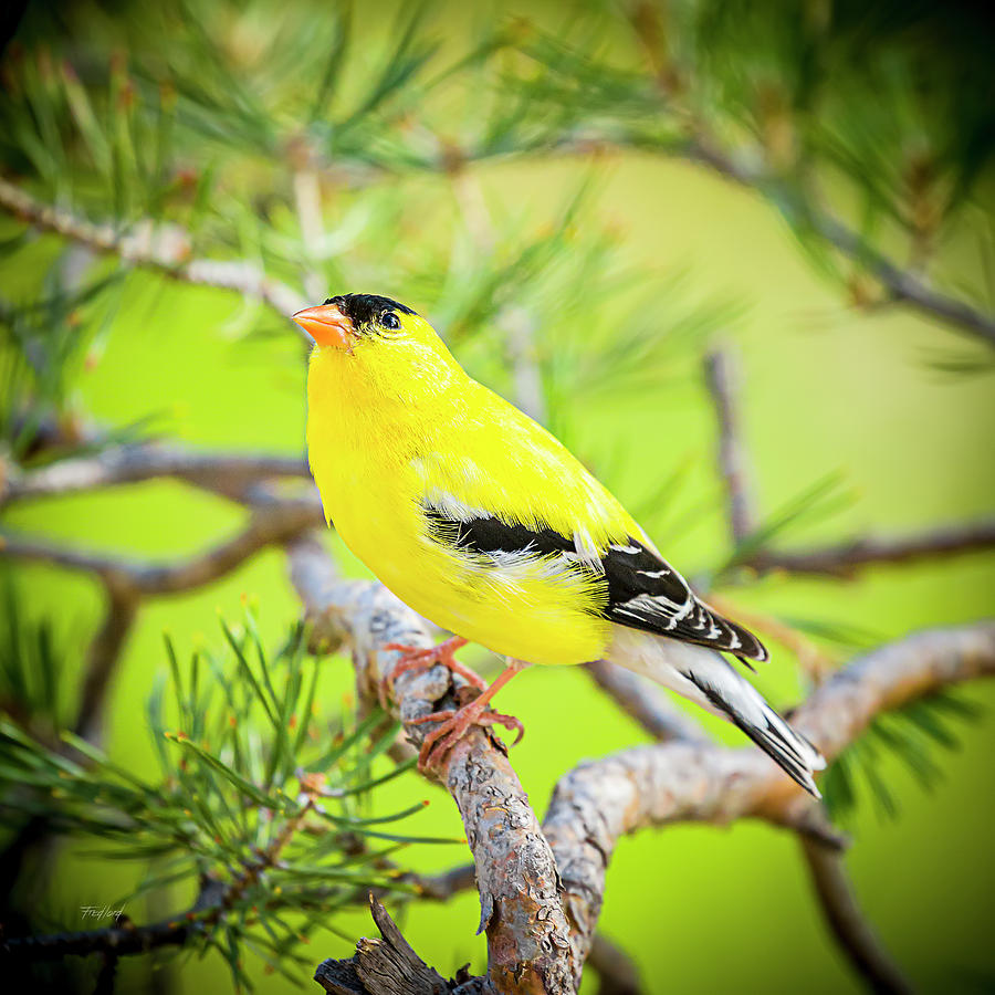 Male American Goldfinch by Fred J Lord