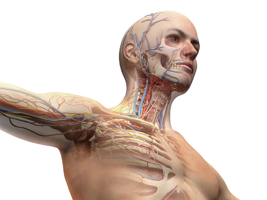Male Anatomy With Ghost Effect by Leonello Calvetti