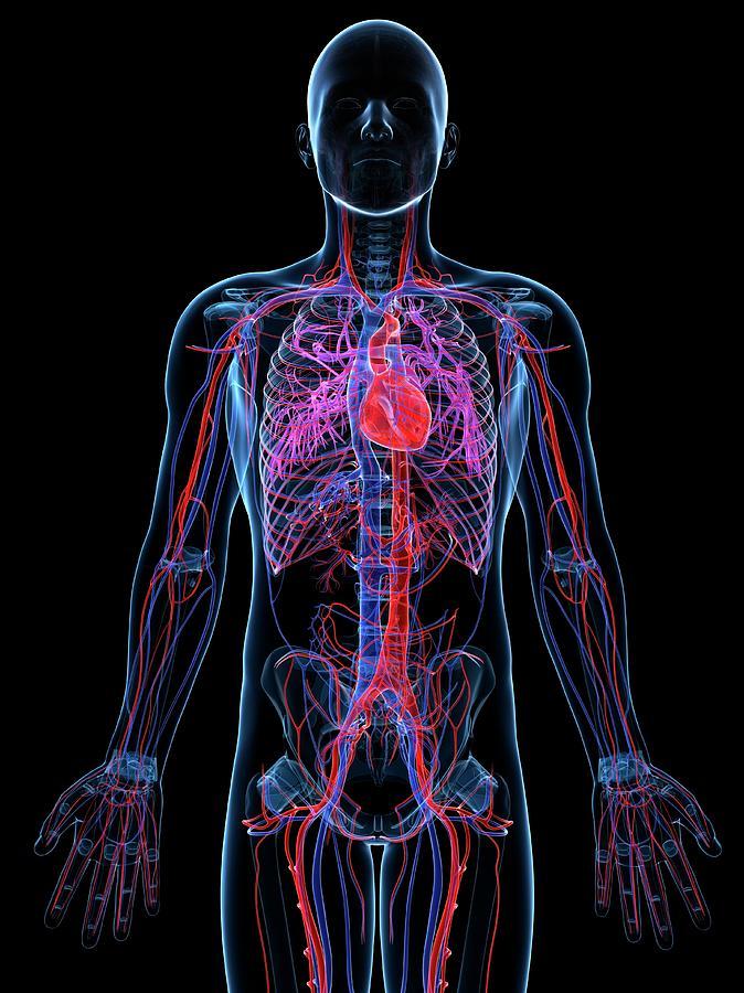 Male Cardiovascular System, Artwork Digital Art by Sciepro