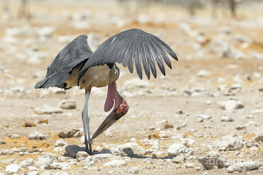 One Photograph - Marabou Stork by Dr P. Marazzi/science Photo Library