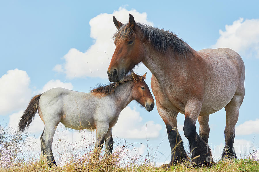 Mare with foal close together by Nick Biemans