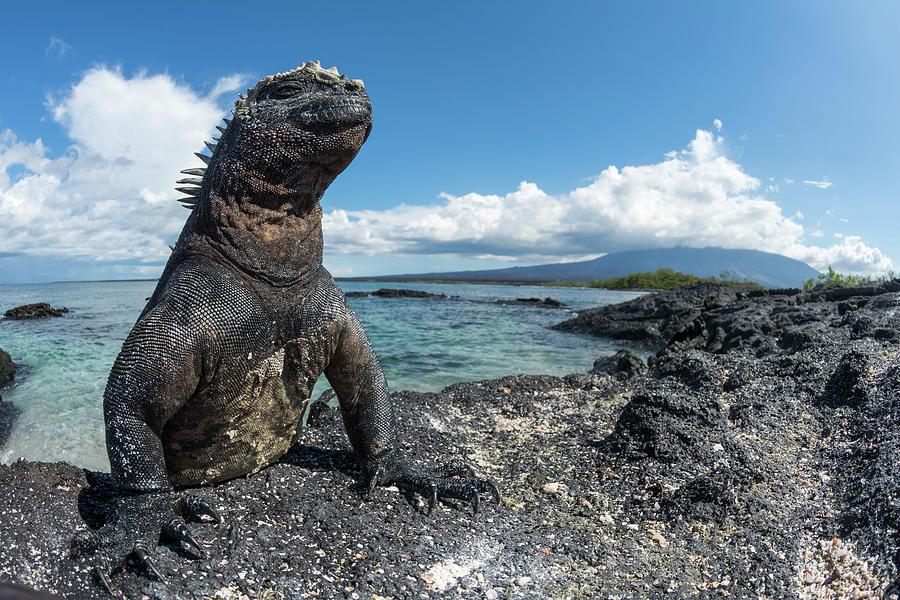 Marine Iguana Basking On Coast Photograph by Tui De Roy