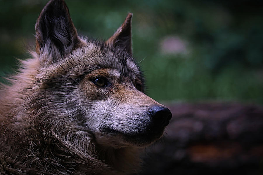 Wolf Photograph - Mexican Grey Wolf 1 by Ernie Echols