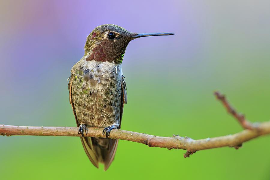Midsummer Night's Dream IV - Male Anna's Hummingbird by Briand Sanderson