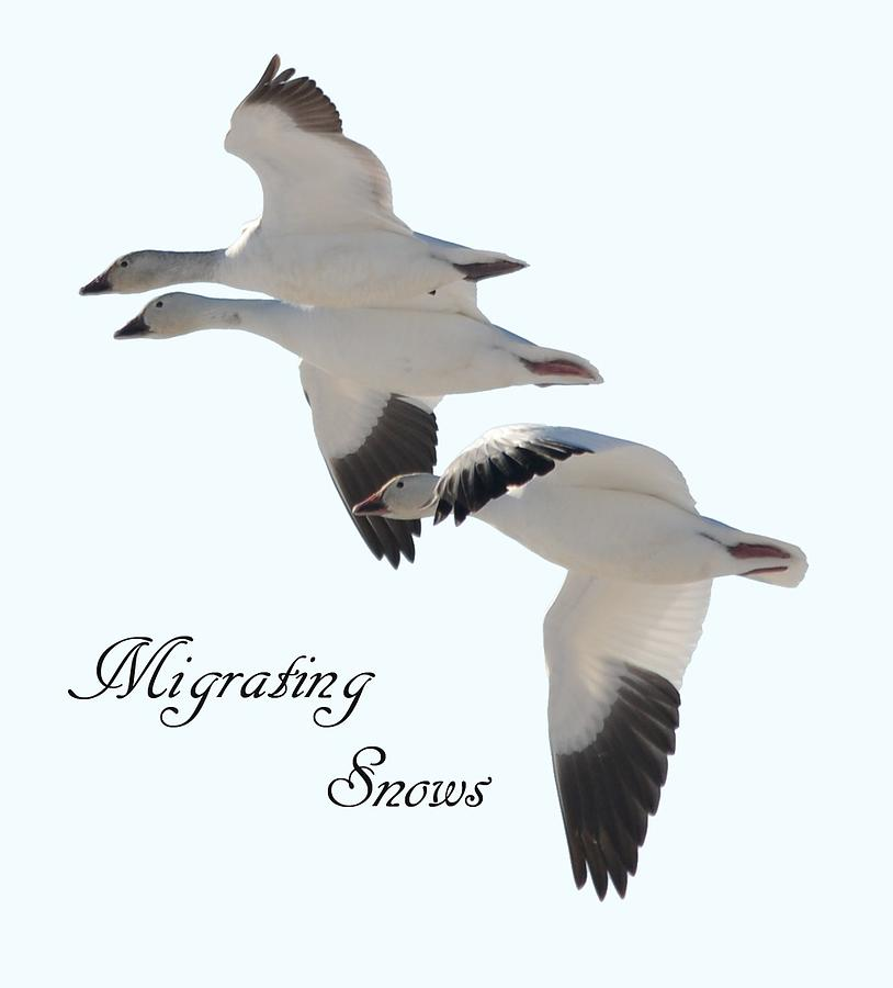 Migrating Snow Geese by Whispering Peaks Photography