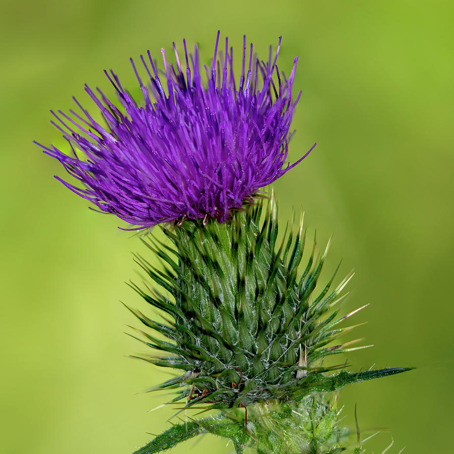 Thistle Photograph - Milk Thistle by Steev Stamford
