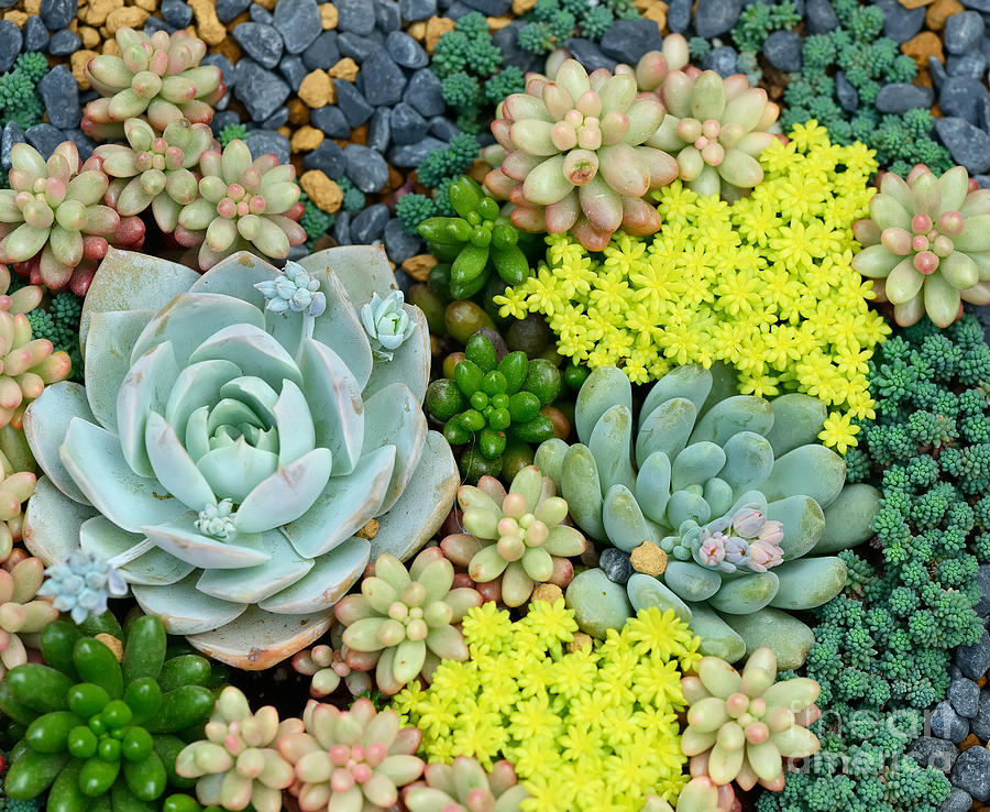 Container Photograph - Miniature Succulent Plants by Asharkyu