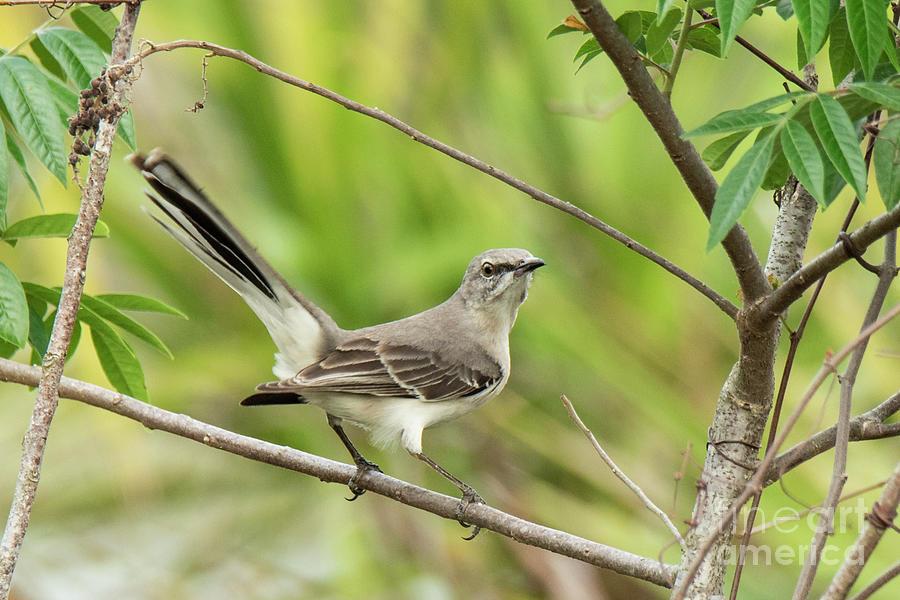 Mockingbird by Michael D Miller