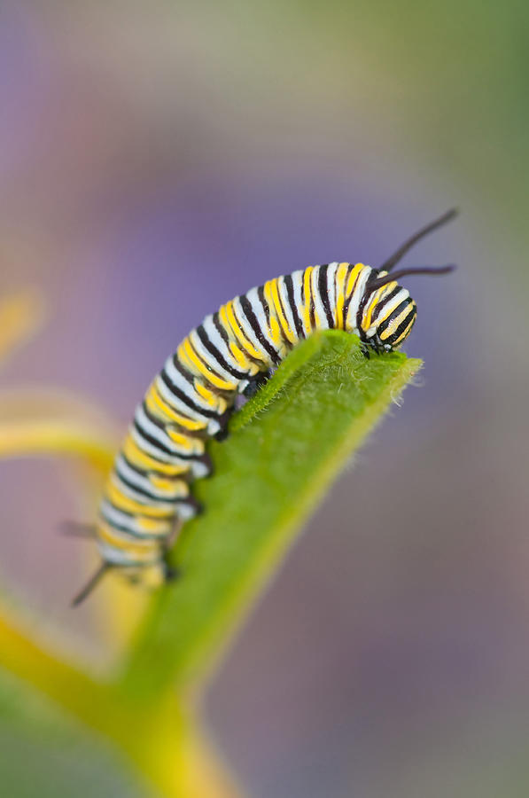 Animal Photograph - Monarch Caterpillar by Michael Lustbader
