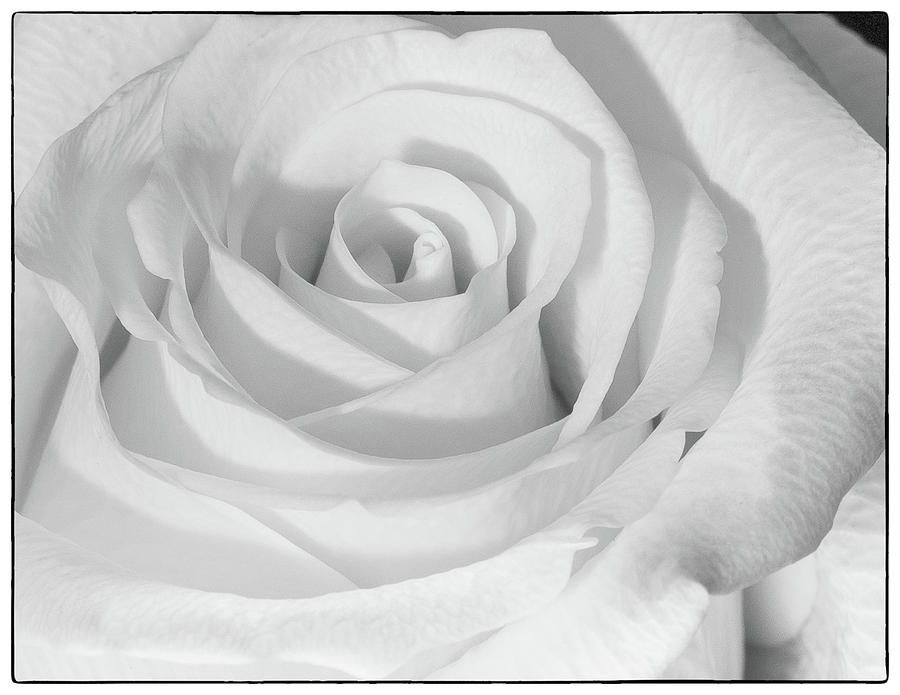 Monochrome Rose Photograph by John Roach