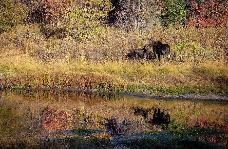 Landscape Photograph - Moose At Green Pond by Gina Herbert