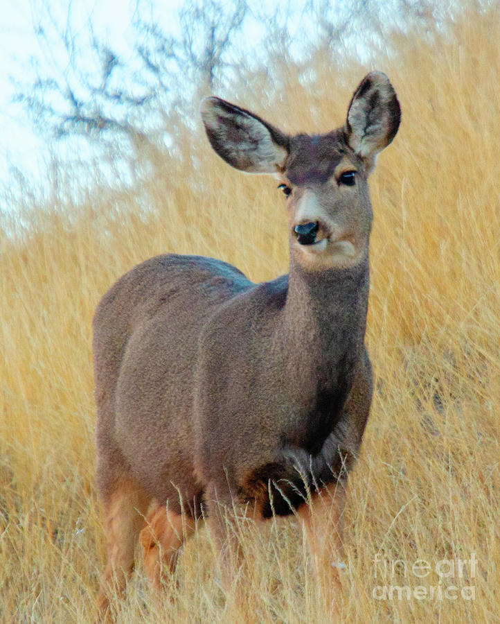 Morning Mule Deer Does Photograph