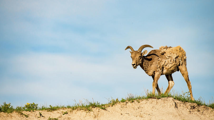 Mountain Sheep in Badlands National Park by Art Whitton