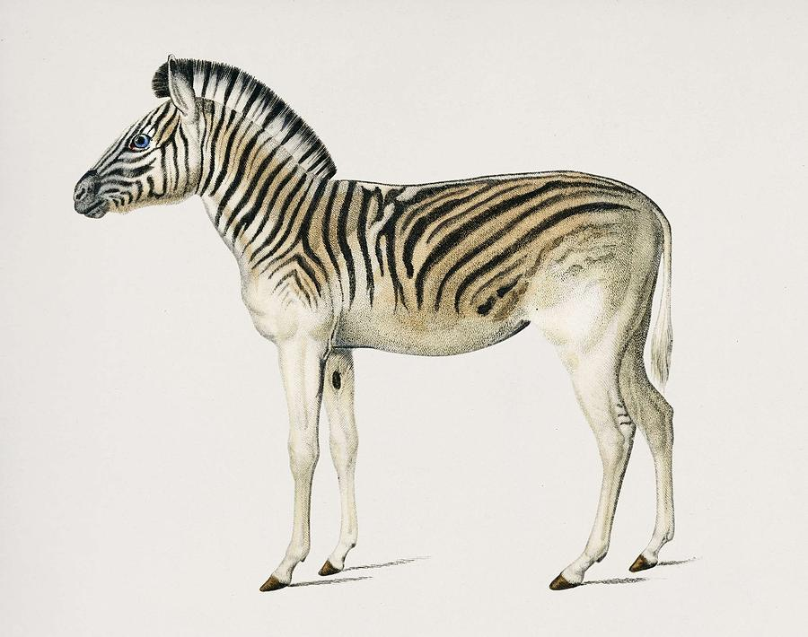 Animal Painting - Mountain Zebra  Dauw  Illustrated By Charles Dessalines D Orbigny  1806-1876  by Celestial Images