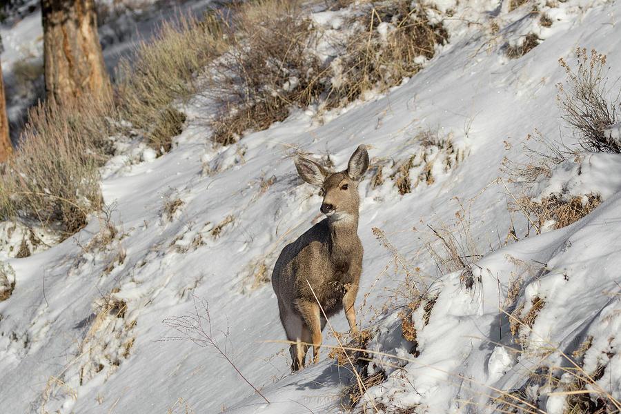 Mule Deer by Ronnie and Frances Howard