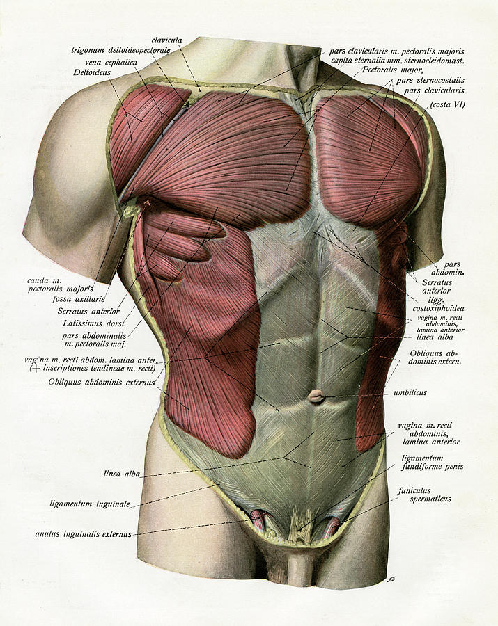 Muscles And Ligaments Of Torso Photograph by Graphicaartis
