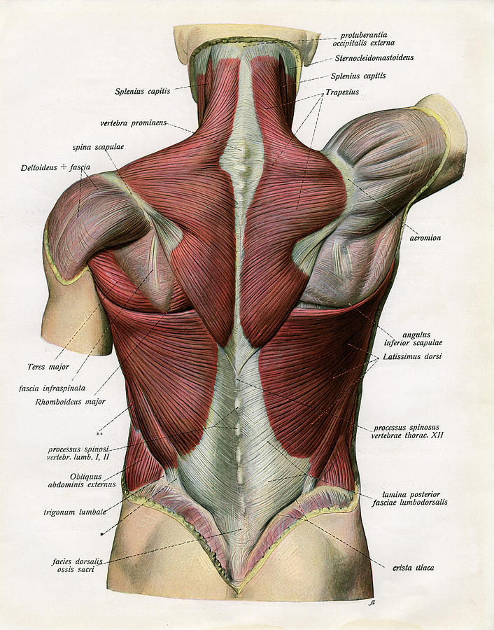 Muscles Of The Human Back Photograph by Graphicaartis
