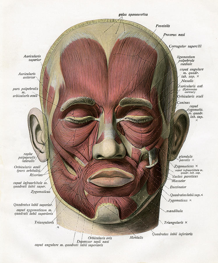 muscles of the human face digital art by graphicaartis