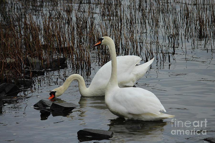 Mute Swans Donegal Ireland by Eddie Barron