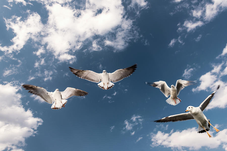 Myanmar, Inle Lake, Seagulls Inflight Photograph by Martin Puddy