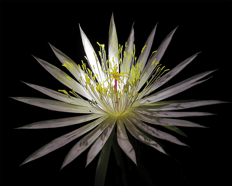 Night Blooming Cereus, 1 by Gerald Grow